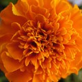 220px-African_Marigold