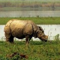Indian one - horned rhino Kaziranga